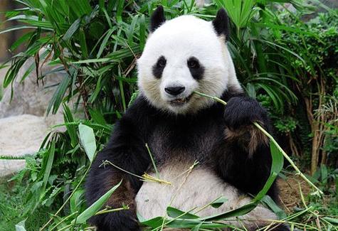 panda-eating-abmboo